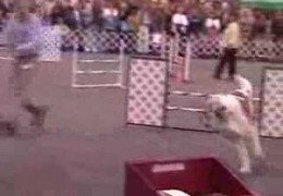 Saint Bernard Kris' Perfect Agility Run