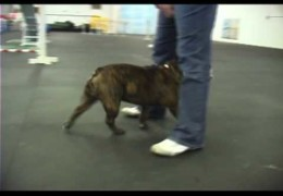Amazing English Bulldog Deezel Loves Agility