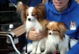 Papillon Competition Agility Run