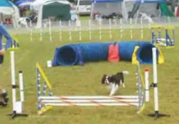 Cavalier King Charles Spaniel Negotiates a Perfect Agility Course