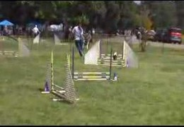 Oh Yeah, a Basset Hound can do Dog Agility