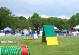 Pembroke Welsh Corgi Runs A Clean Agility Course