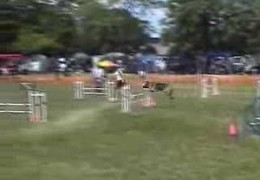 German Shepherd Dog Runs An Excellent Course