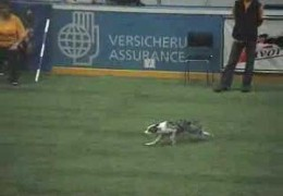 Border Collies on The Agility Start Line