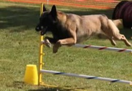 A Great Sample of NADAC Agility Competition Dogs