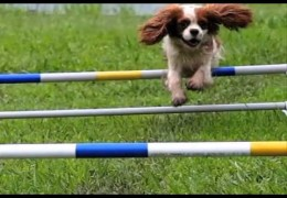 Cavailer King Charles Spaniel Agility Dog in Slow Motion