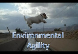 This Jack Russel Knows How To Keep Dog Agility Fun