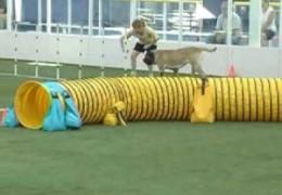 Dog Agility Titled Mastiff Runs A Clean Agility Course