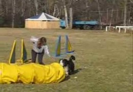 Bearded Collies Rock At Dog Agility