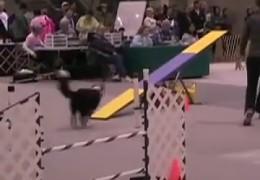 2008 Seattle Kennel Club AKC Dog Agility Highlights