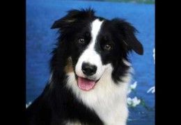 Is Your Agility Dog One Of the KC Top 10 Smartest Breeds?