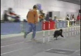 Sally The Border Collie Slams Down 60 Weaves In 14.45 Seconds