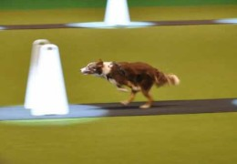 Crufts 2010 Flyball Semi Finals Slide Show