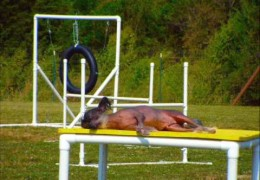 This Chinese Crested Is The Laziest Dog in Dog Agility