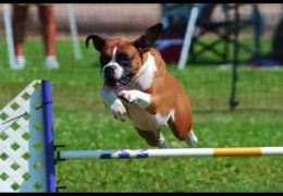 Pip The Boxer Loves Dog Agility