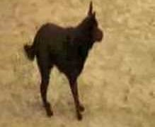 Australian Kelpie Showing How Fast They Can Run Agility