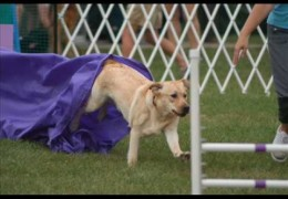 Love Labradors in Agility Then This Picture Montage Is For You