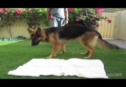 How To Teach Your Agility Dog To Settle