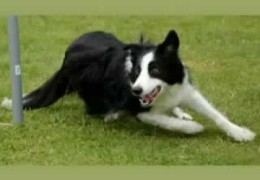 Engine The Border Collie Shows The Importance Of Distance Work