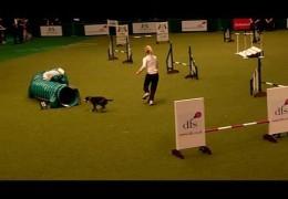 Staffordshire Bull Terrier Enjoying a Clean Run At Crufts 2010