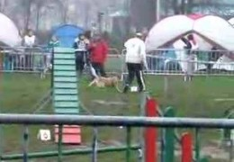 Big Australian Cattle Dog Is No Fair Weather Agility Dog