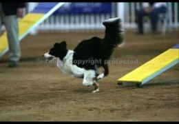 Border Collies Have An Edge In Dog Agility Competition