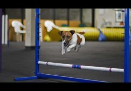Agility Training Jack Russell Style