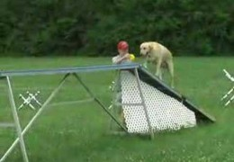Apollo The Yellow Labrador's First Go At Agility