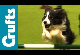 2012 Crufts Agility Open Jumping Winners