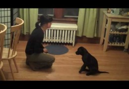 Midnight The Lab Puppy Shows Her Smarts