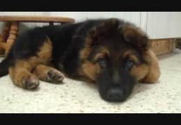 Adorable Akira The German Shepherd Puppy