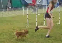 Ruby Cavalier King Charles Spaniel Crushes This AKC JWW Course