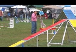 Bedlington Terrier Titus' Superb Agility MACH Run