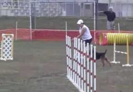 Welsh Terrier, Duce, In Open Jumpers Agility
