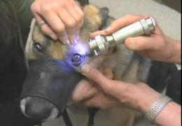 Chronic Superficial Keratitis (Pannus) or German Shepherd Eye