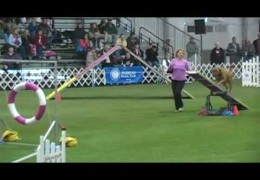 The First Dogue De Bordeaux To Earn The AKC Agility Invitational