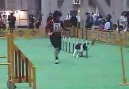 Dog Agility At A FCI Asian International Dog Show