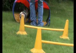 Watch Louie Learning The Ropes Of Dog Agility