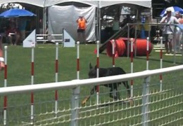 This Doberman Really Gets Into The Agility Game