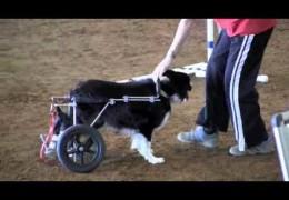 Zip's Glory Run in Wheelchair With Sue