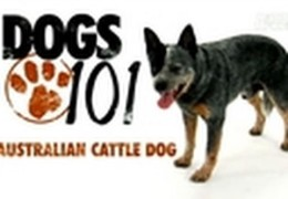 All About The Australian Cattle Dog