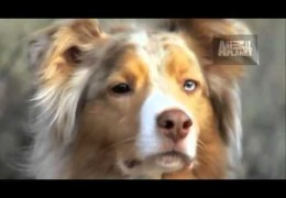 All About Australian Shepherds