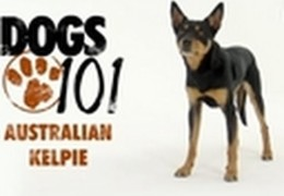 All About The Australian Kelpie