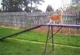 Cat Really Doing Dog Agility