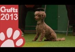 2013 Crufts Small Dog Jumping Winner