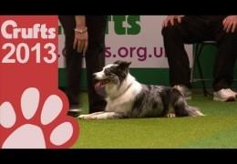 2013 Crufts Medium Dog Jumping Winner