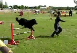 Teo the Groenendael Aces this Dog Agility Steeplechase Course