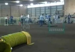 Two Australian Shepherds Loving CPE Trial
