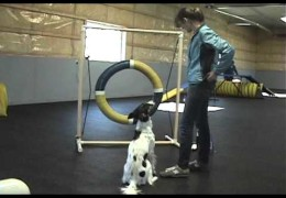 Cricket The Long Haired Whippet Plays CPE Games With Ease