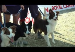 2013 Border Collie Cup Highlights
